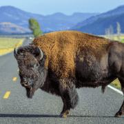 Impulskarte Conwick Büffel