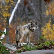 Und es war doch ein Wolf_Conwick_Fotolia_122499283_jimcumming88